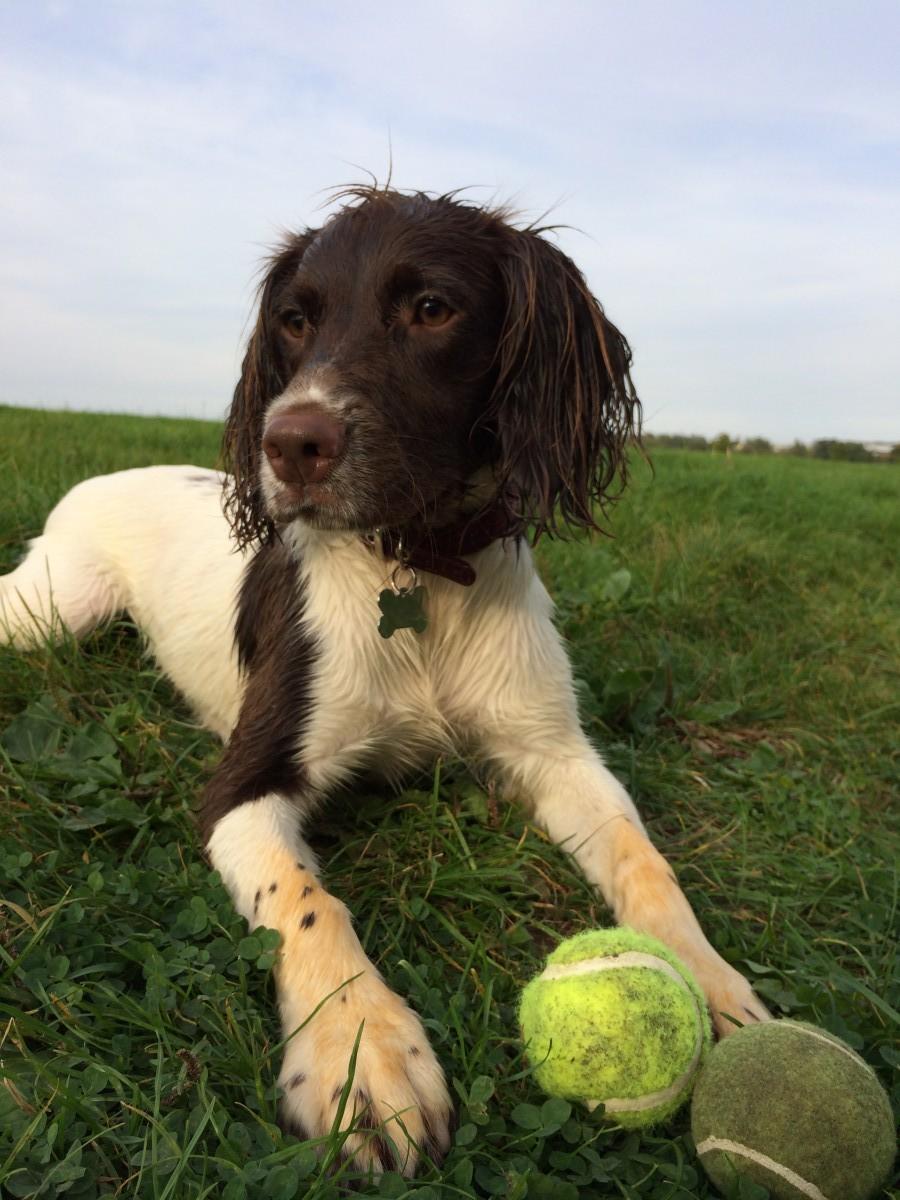 Millie_English_Springer_Spaniel_Tennis_Balls_Facts