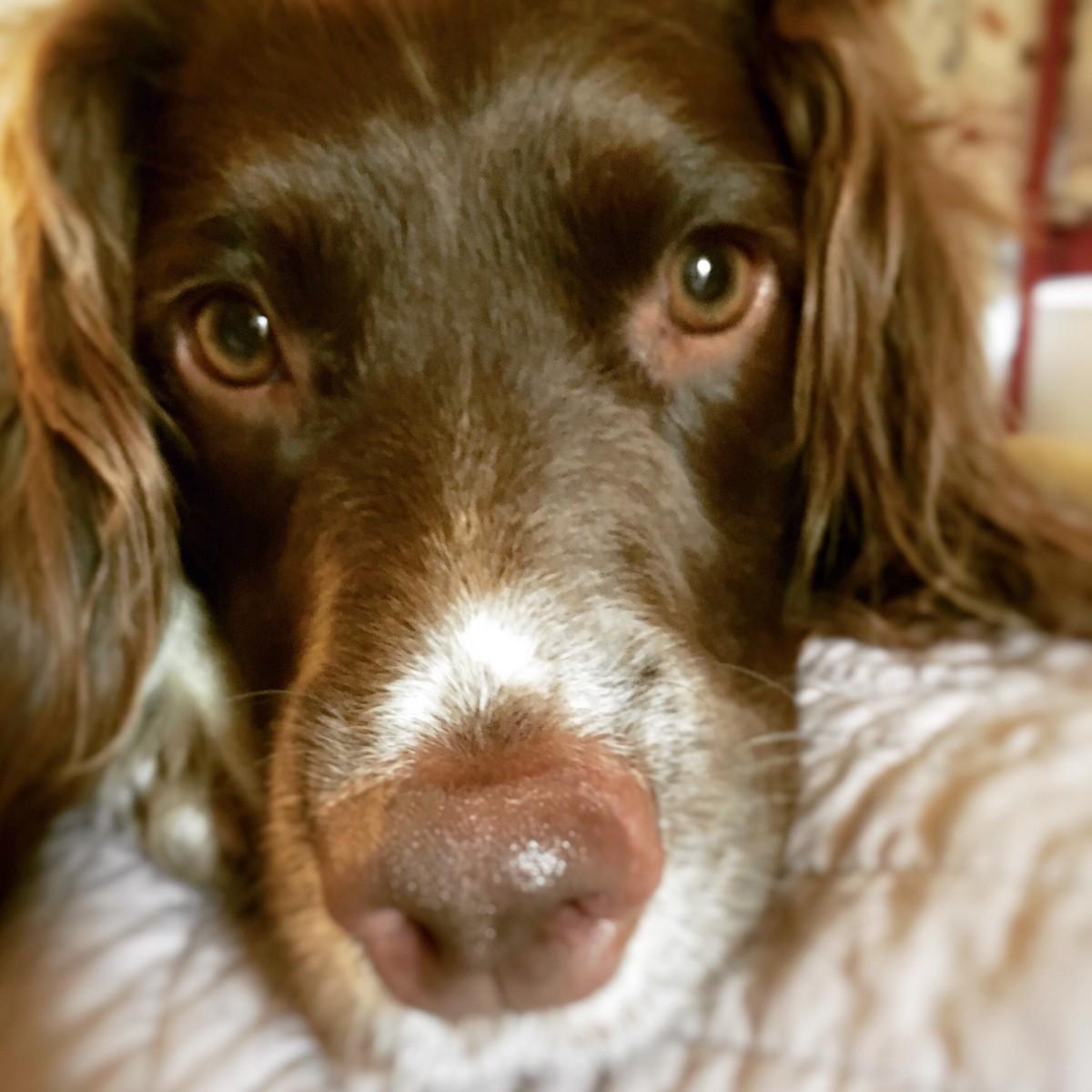 English Springer Spaniel Millie