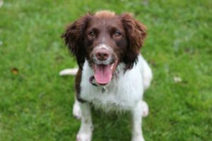 10 Facts about English Springer Spaniels and why I love them