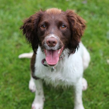 Millie_English_Springer_Spaniel_Facts