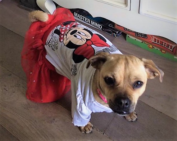 Treacle our dog dressed up as Minnie Mouse